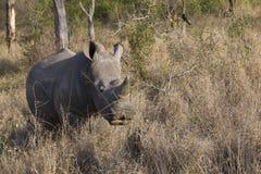 Rinoceronte del bebé que alimenta en hierba Foto de archivo
