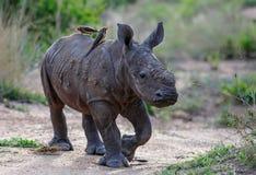 Rinoceronte del beb? con el oxpecker imagenes de archivo