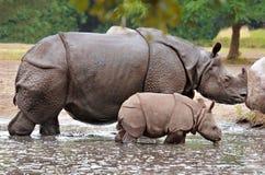 Rinoceronte del becerro de la madre y del bebé foto de archivo