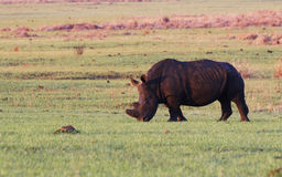 Rinoceronte del rinoceronte blanco Imagen de archivo