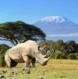 Rinoceronte delante de la montaña de Kilimanjaro Foto de archivo libre de regalías