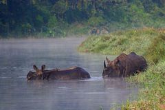 Rinoceronte dell'indiano del bambino e della madre Fotografie Stock