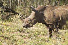 Rinoceronte di bianco del bambino Immagini Stock