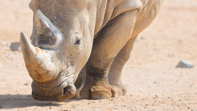 Rinoceronte di Brown Fotografia Stock