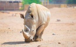 Rinoceronte di Brown Fotografia Stock Libera da Diritti