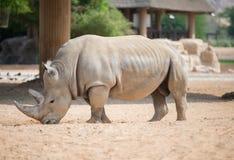 Rinoceronte di Brown Immagine Stock