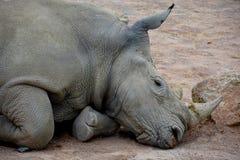 Rinoceronte di riposo fotografie stock