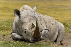 Rinoceronte di sonno Fotografia Stock Libera da Diritti