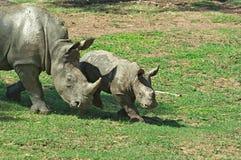 Rinoceronte do bebê do rinoceronte da matriz   imagens de stock