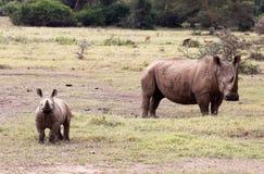 Rinoceronte do bebê e sua mãe Fotografia de Stock