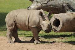 Rinoceronte do branco do bebê Fotografia de Stock Royalty Free