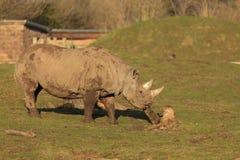 Rinoceronte do preto de Tsavo Fotografia de Stock