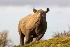 Rinoceronte do preto de Tsavo Imagem de Stock Royalty Free