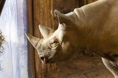 Rinoceronte do preto de Tsavo Imagens de Stock