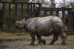 Rinoceronte do rinoceronte que corre em torno do jardim zoológico e que tem o divertimento imagem de stock