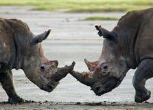 Rinoceronte dois que luta um com o otro kenya Parque nacional África foto de stock