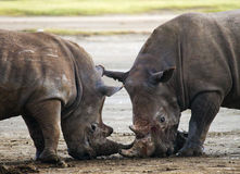 Rinoceronte dois que luta um com o otro kenya Parque nacional África fotografia de stock