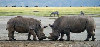 Rinoceronte dois que luta um com o otro kenya Parque nacional África imagens de stock