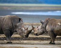 Rinoceronte dois que luta um com o otro kenya Parque nacional África fotografia de stock royalty free