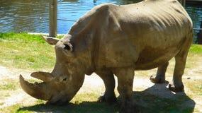 rinoceronte Dos-de cuernos Fotos de archivo libres de regalías