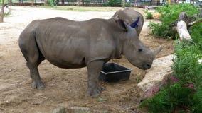 Rinoceronte dos en el parque zoológico abierto de Khao Kheow tailandia almacen de metraje de vídeo