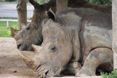 Rinoceronte dos que descansa durante el calor Imagen de archivo