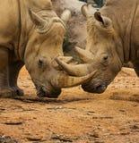 Rinoceronte due che chiude i corni a chiave Fotografia Stock Libera da Diritti