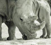 Rinoceronte e bambino in bianco e nero allo zoo nella fine di giorno di estate su immagini stock libere da diritti