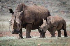 Rinoceronte e vitela brancos Fotos de Stock Royalty Free