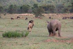 Rinoceronte ed il leone DJE Fotografia Stock