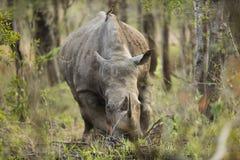 Rinoceronte em África do Sul Imagem de Stock