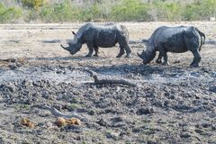 Rinoceronte em um furo molhando quase seco fotos de stock royalty free