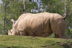 Rinoceronte em um jardim zoológico em Itália Foto de Stock Royalty Free