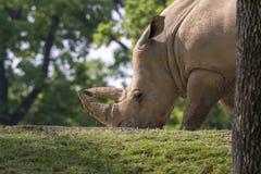 Rinoceronte em um jardim zoológico em Itália Fotos de Stock