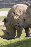 Rinoceronte em um jardim zoológico em Itália Imagem de Stock Royalty Free