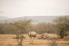 Rinoceronte en descanso Imágenes de archivo libres de regalías