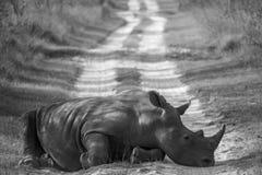 Rinoceronte en el camino Imágenes de archivo libres de regalías