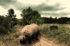 Rinoceronte en el camino en la sabana africana Fotos de archivo