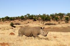 Rinoceronte en el noroeste Fotografía de archivo libre de regalías