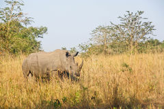 Rinoceronte en el salvaje Fotos de archivo