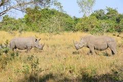 Rinoceronte en el salvaje Foto de archivo libre de regalías
