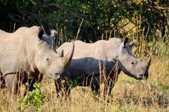 Rinoceronte en el salvaje Imágenes de archivo libres de regalías