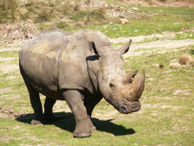 Rinoceronte en el sol Imagenes de archivo