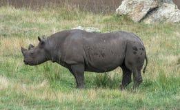 Rinoceronte en hierba verde foto de archivo