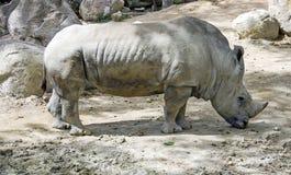 Rinoceronte en jardín del parque zoológico Fotografía de archivo libre de regalías