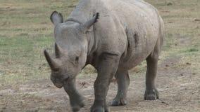 Rinoceronte en Kenia almacen de video