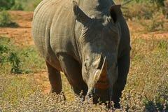 Rinoceronte en la sabana en la puesta del sol Fotografía de archivo