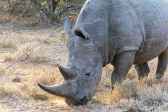 Rinoceronte en mayor parque nacional de Kruger, Suráfrica Fotos de archivo