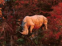 Rinoceronte en otoño Imágenes de archivo libres de regalías