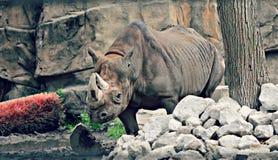 Rinoceronte en parque zoológico foto de archivo libre de regalías
